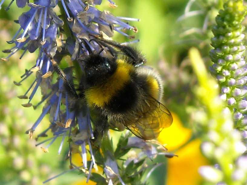 пчела (фото 642)