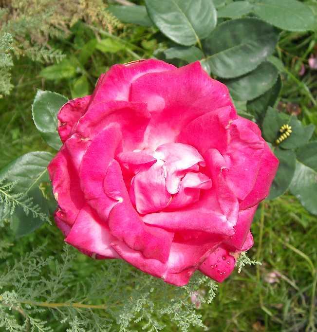 роза, гусеница (фото 645)