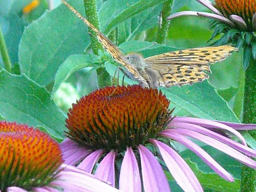 бабочка (фото 660)