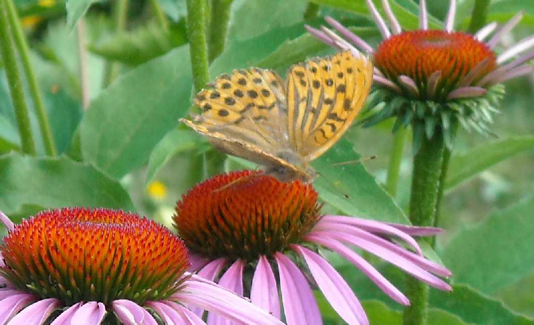 бабочка (фото 661)