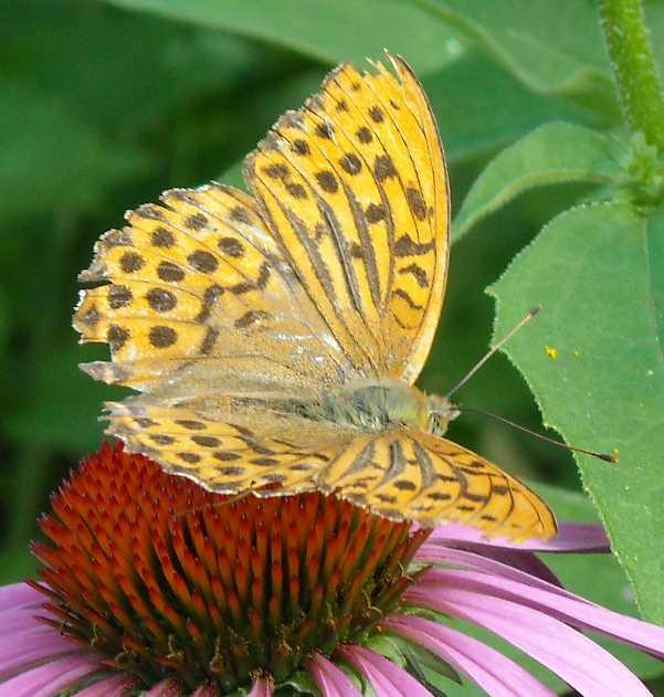 бабочка (фото 662)