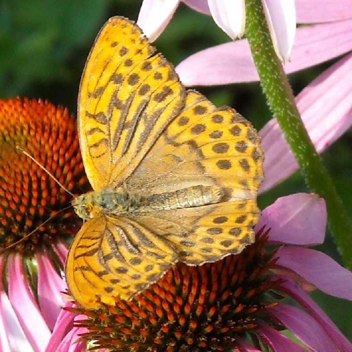 бабочка (фото 665)