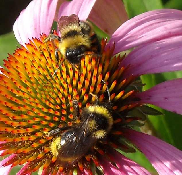 пчела (фото 666)