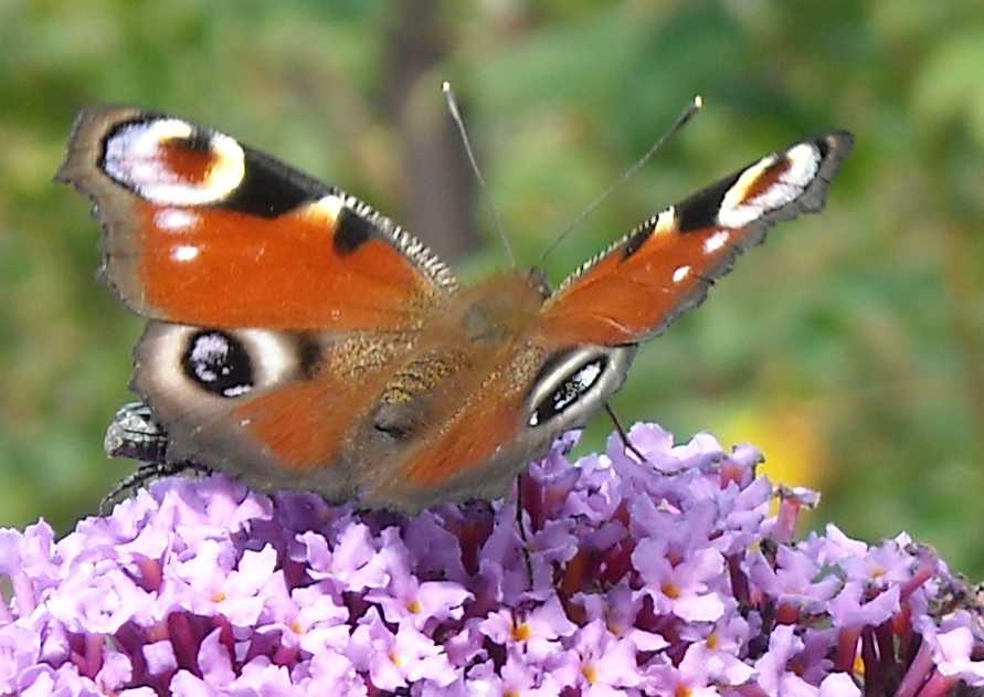 бабочка (фото 667)