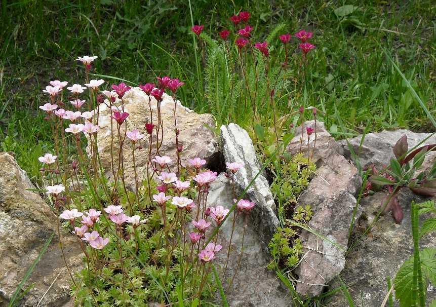 Камнеломки выращивание дома 89