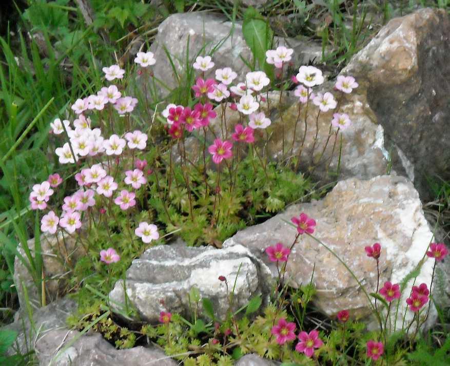 Камнеломки выращивание дома 6