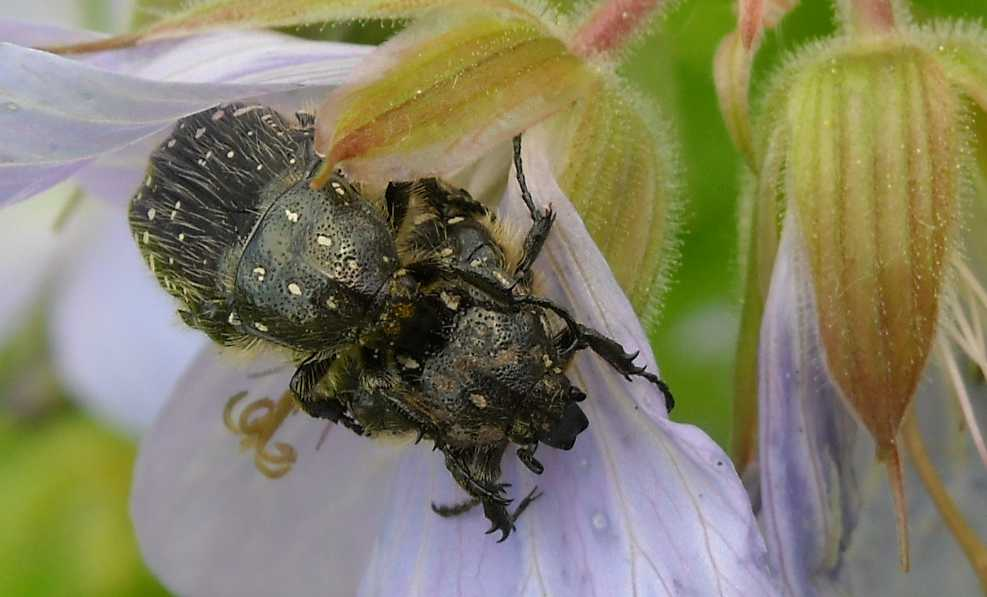 герань, жук (фото 1420)