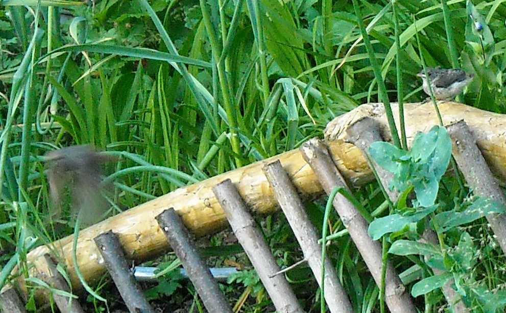 горихвостка (фото 1558)