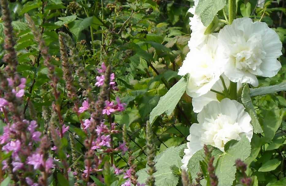 Шток-роза (фото 2009)