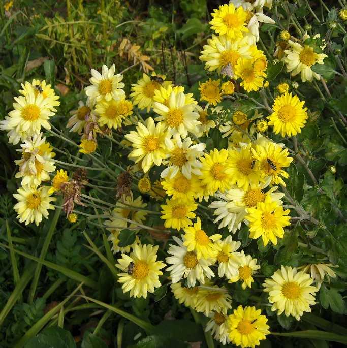 Хризантема (фото 2612)