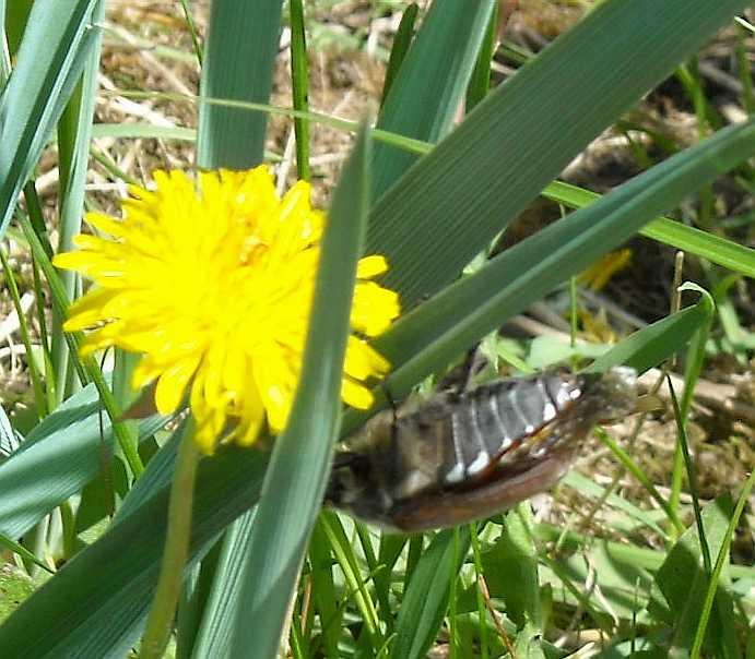 жук майский (фото 3147)