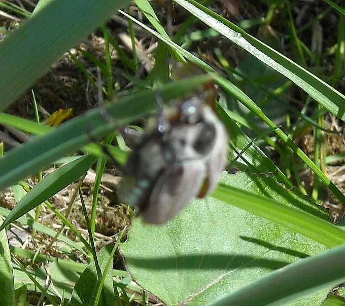 жук майский (фото 3148)