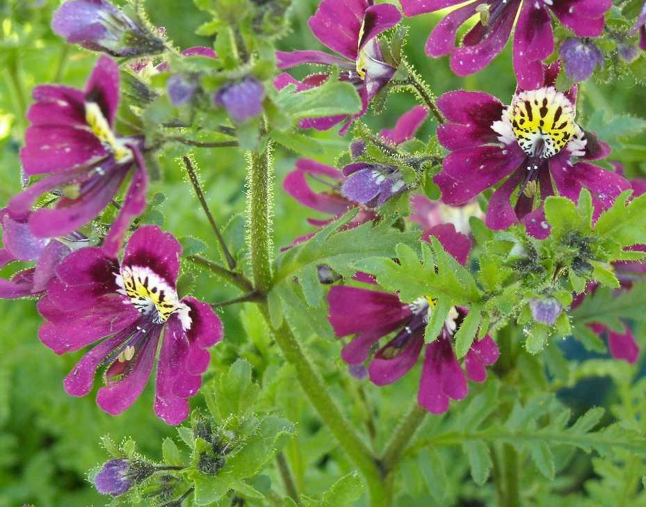 Безымянник цветок выращивание 46