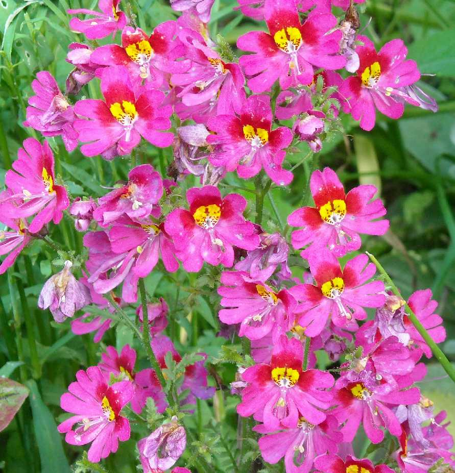 Схизантус выращивание дома 80