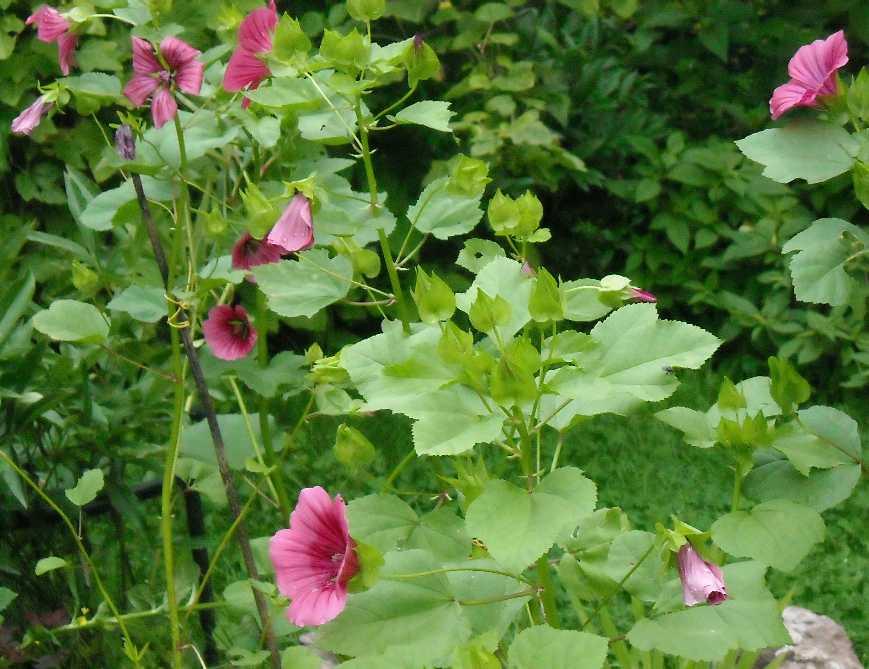 Цветы малопа выращивание 62