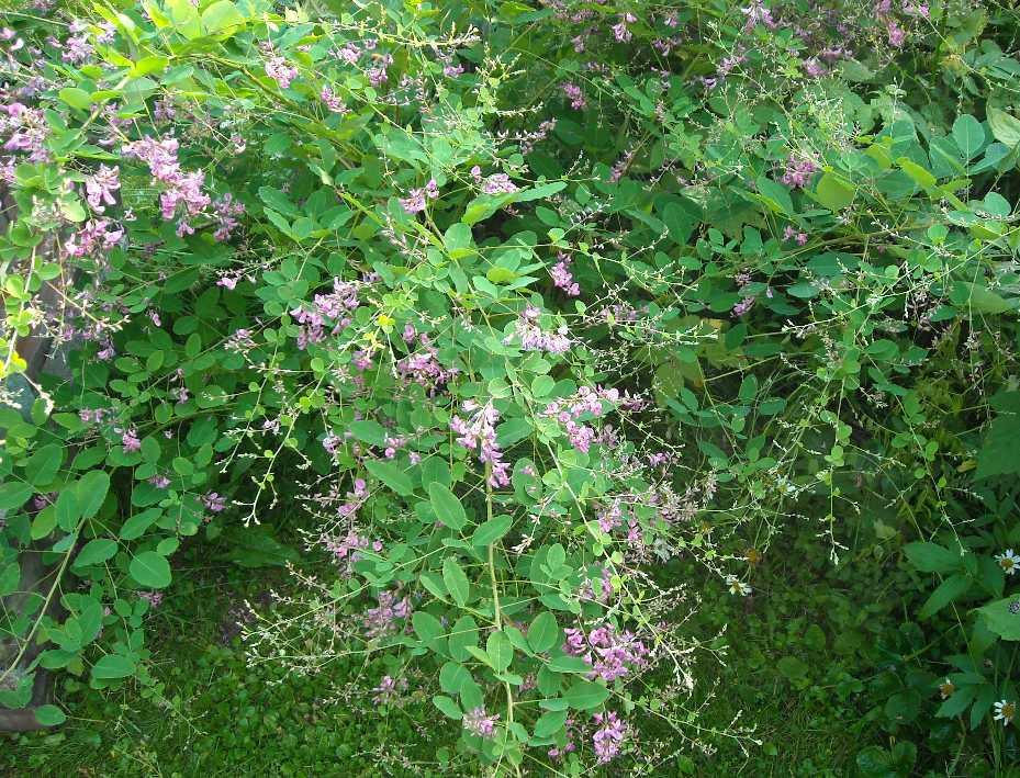 Леспедеца двуцветная выращивание из семян 42