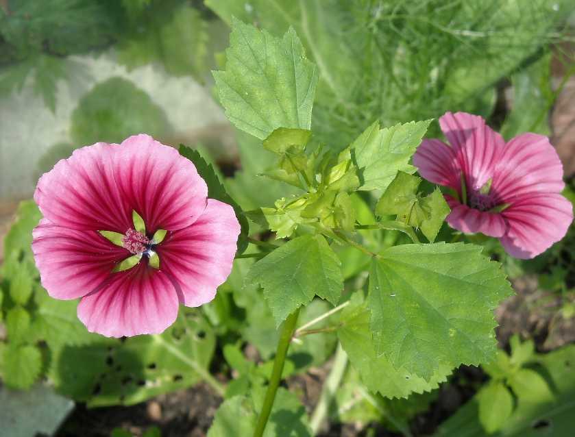 Цветы малопа выращивание 41
