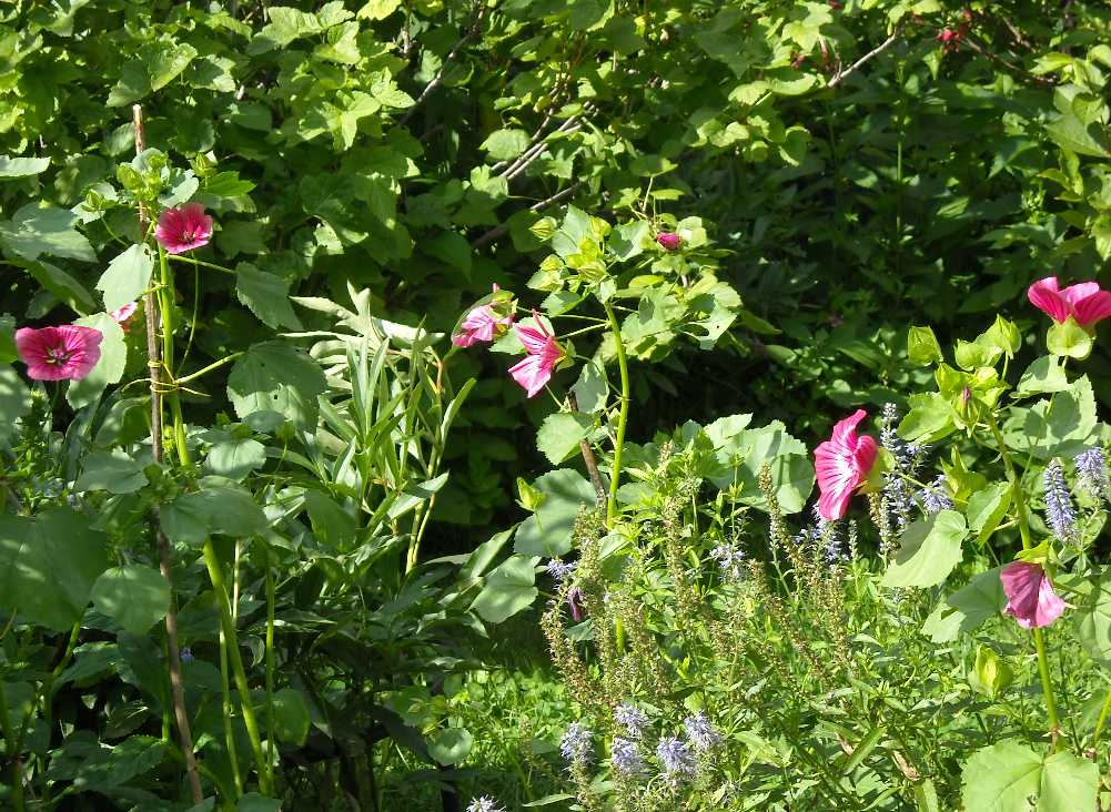 Цветы малопа выращивание 12