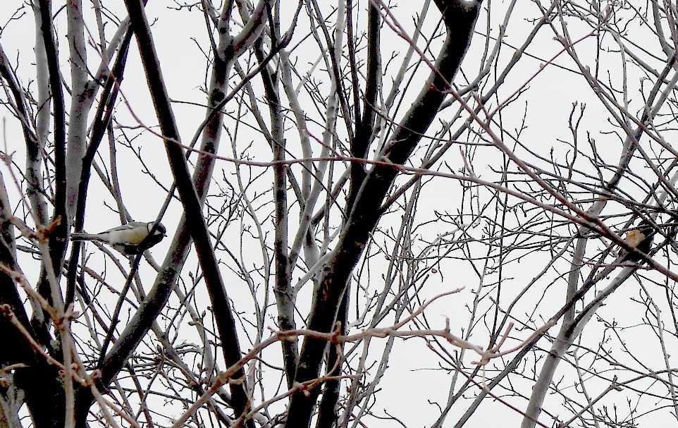 синица (фото 4817)