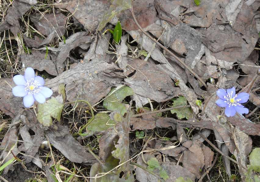 Печеночница выращивание 25