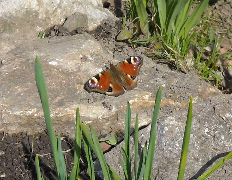 бабочка (фото 5059)