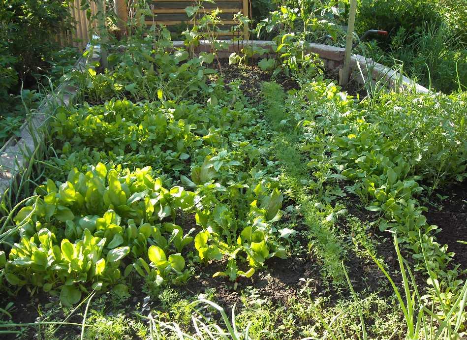 огород (фото 5549)