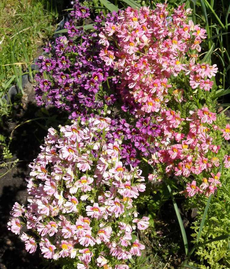 Схизантус выращивание дома 49