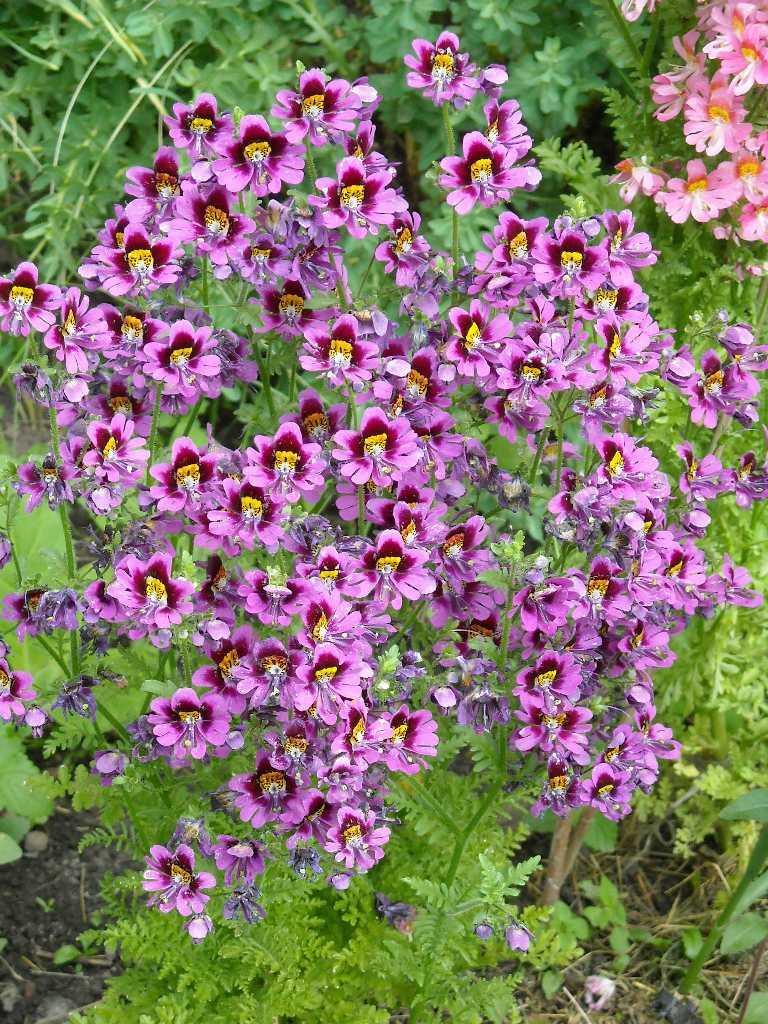Схизантус выращивание дома 61