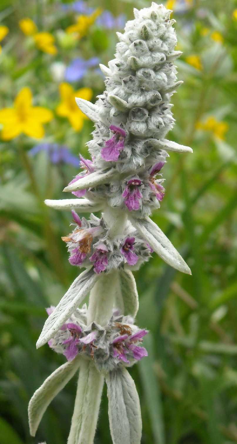 Чистец византийский цветок фото