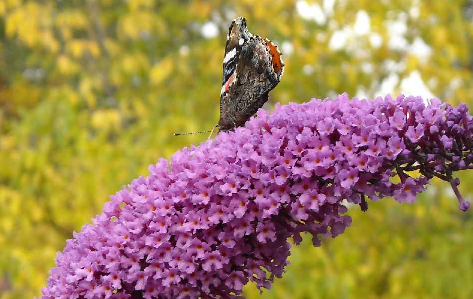 бабочка (фото 6746)