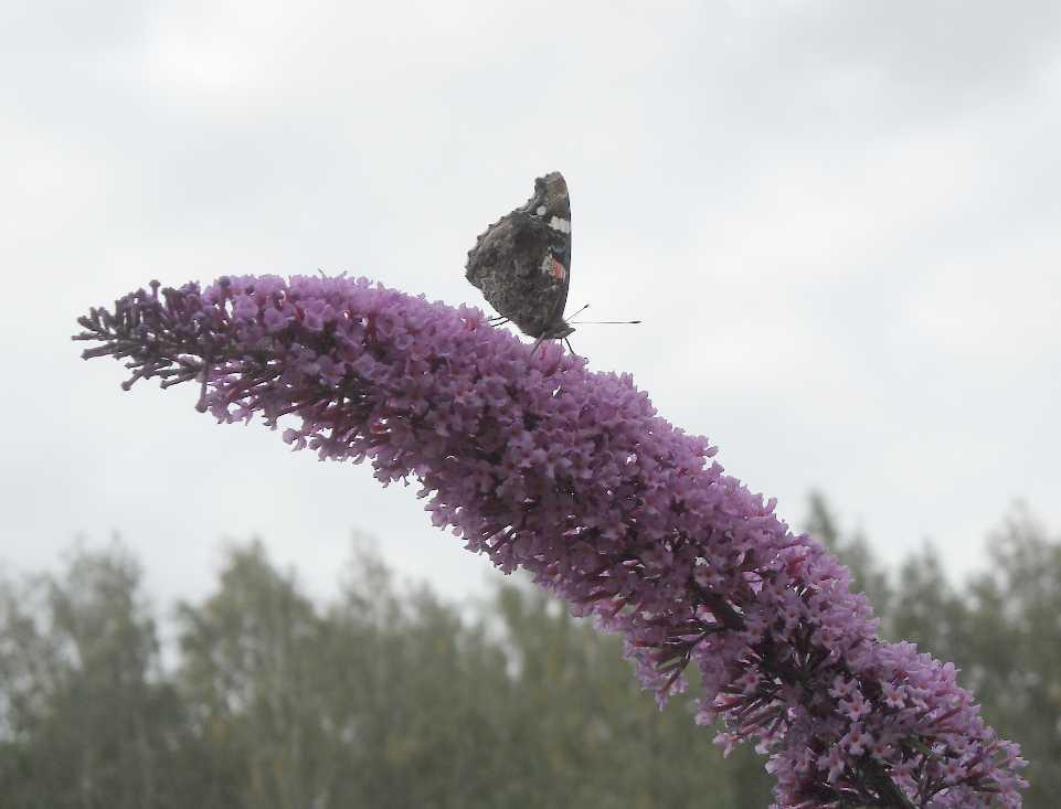 бабочка (фото 6747)