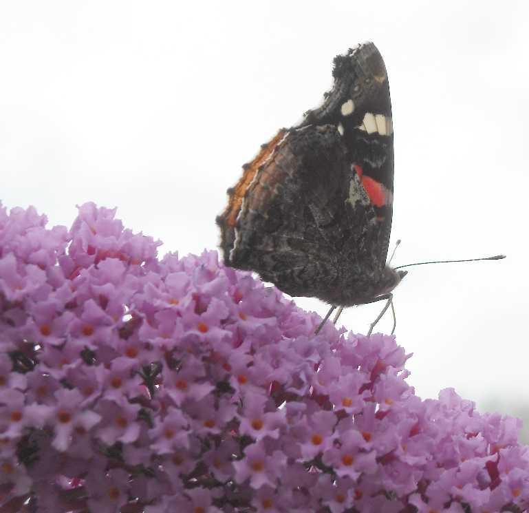бабочка (фото 6748)