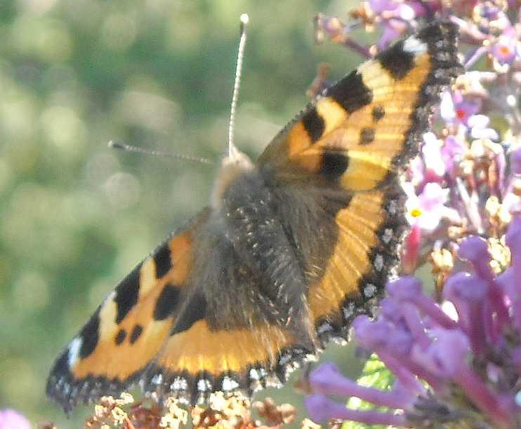 бабочка (фото 6799)