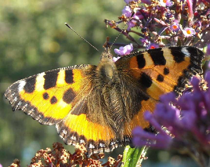 бабочка (фото 6800)