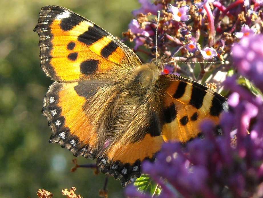 бабочка (фото 6801)
