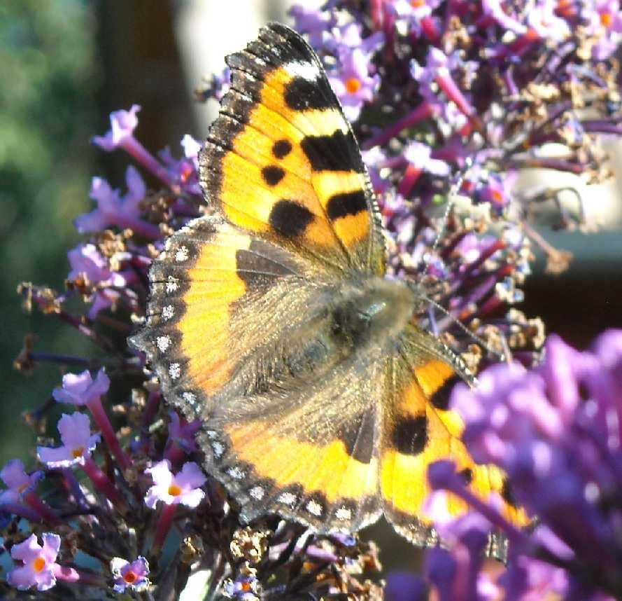 бабочка (фото 6802)