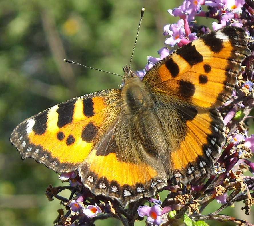 бабочка (фото 6803)