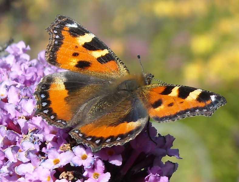 бабочка (фото 6881)