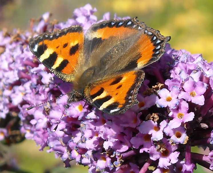 бабочка (фото 6882)