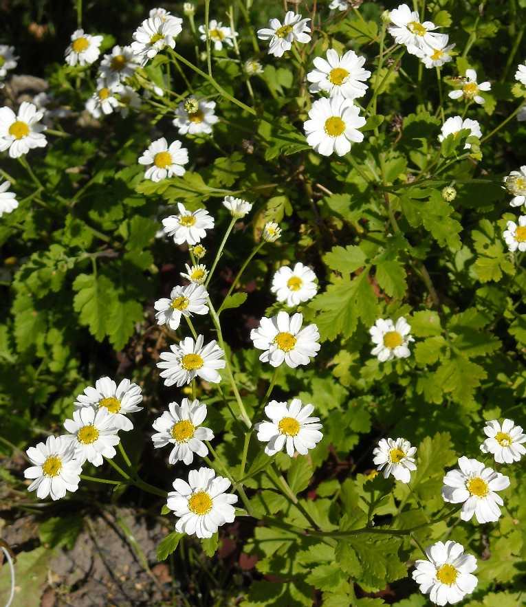 Фото цветка матрикария 27