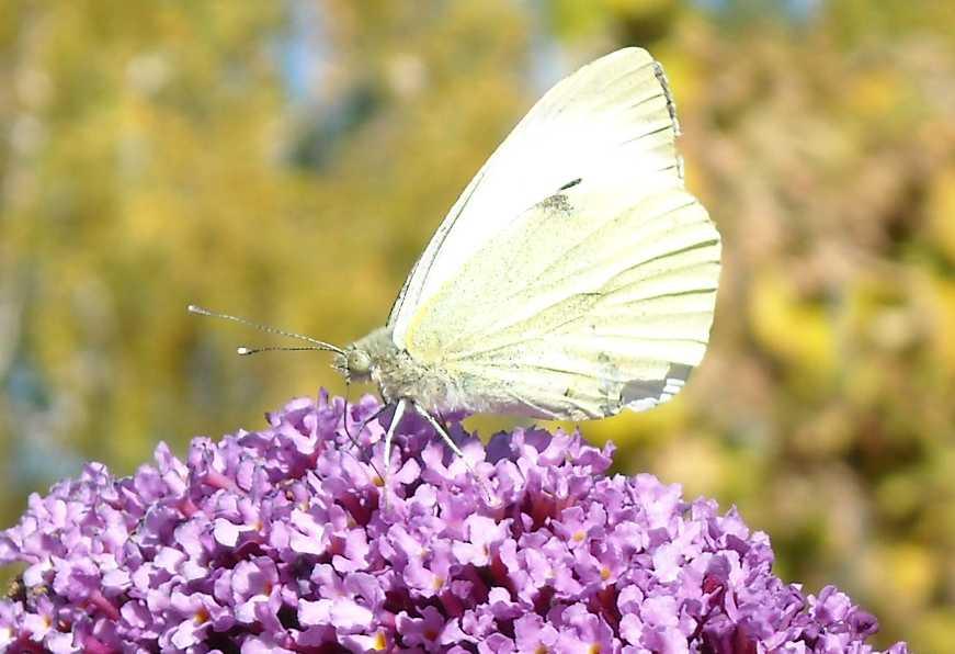 бабочка (фото 6926)