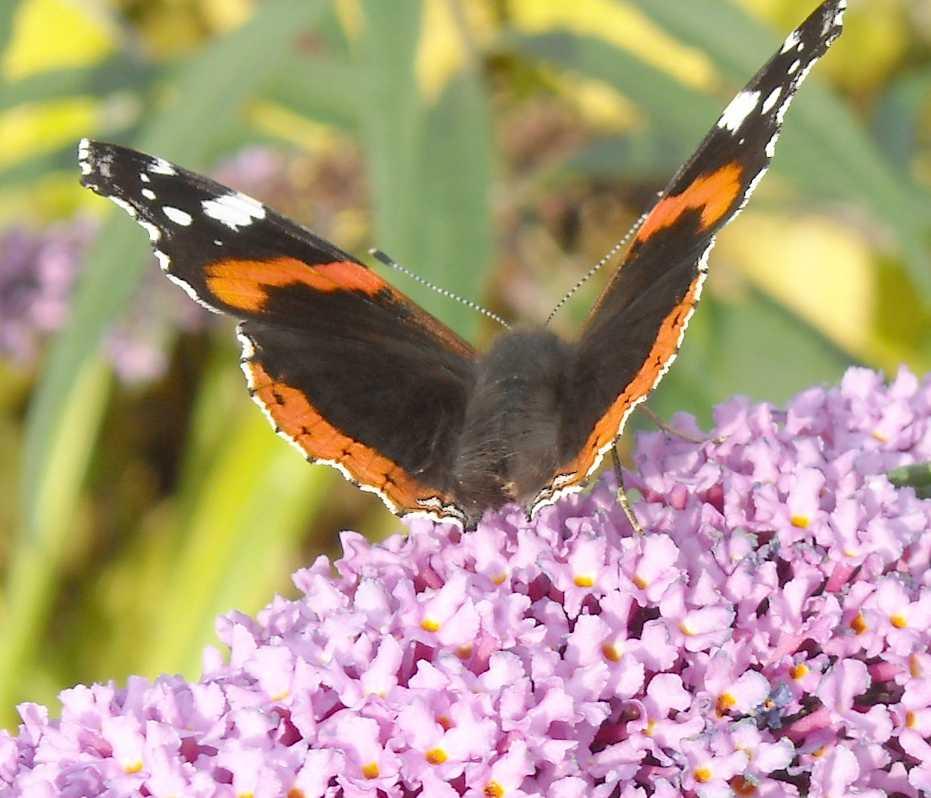 бабочка (фото 7025)