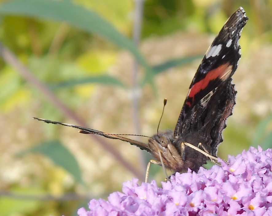 бабочка (фото 7026)