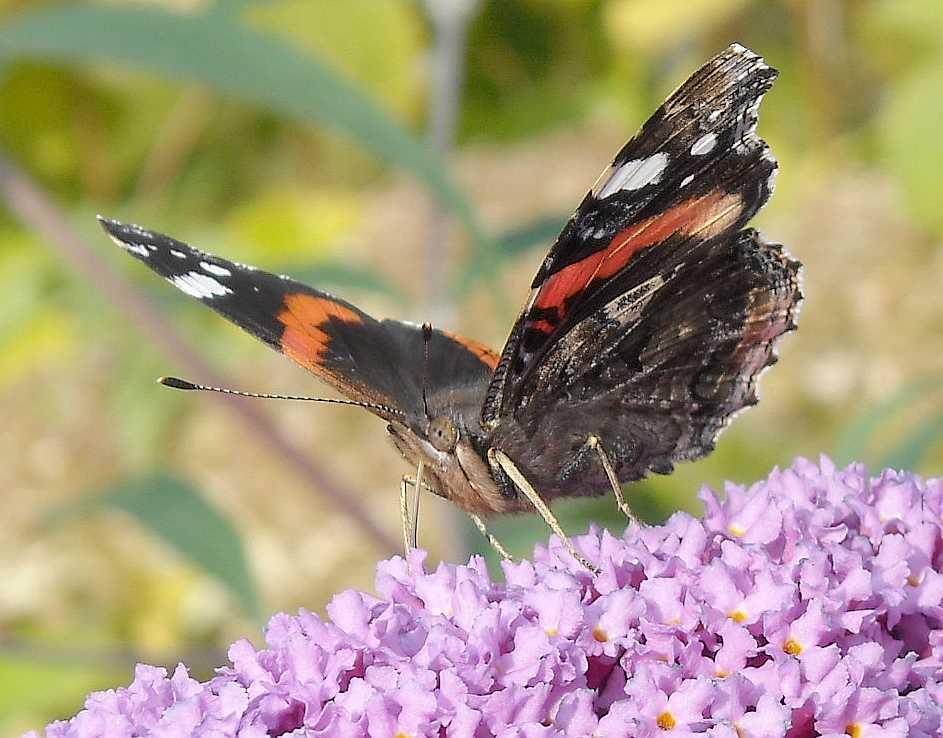 бабочка (фото 7027)