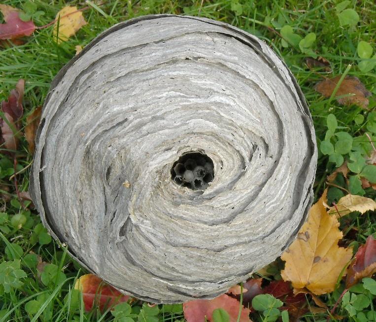 осиное гнездо (фото 7060)