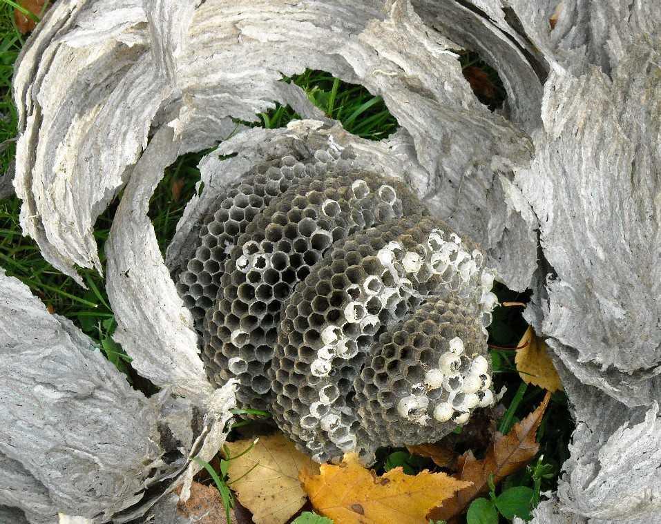 осиное гнездо (фото 7062)