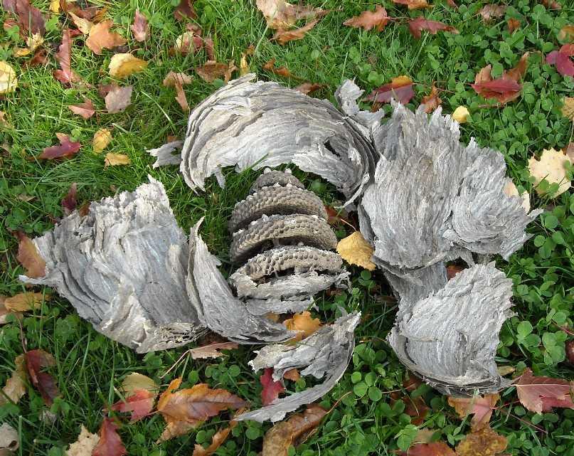 осиное гнездо (фото 7063)