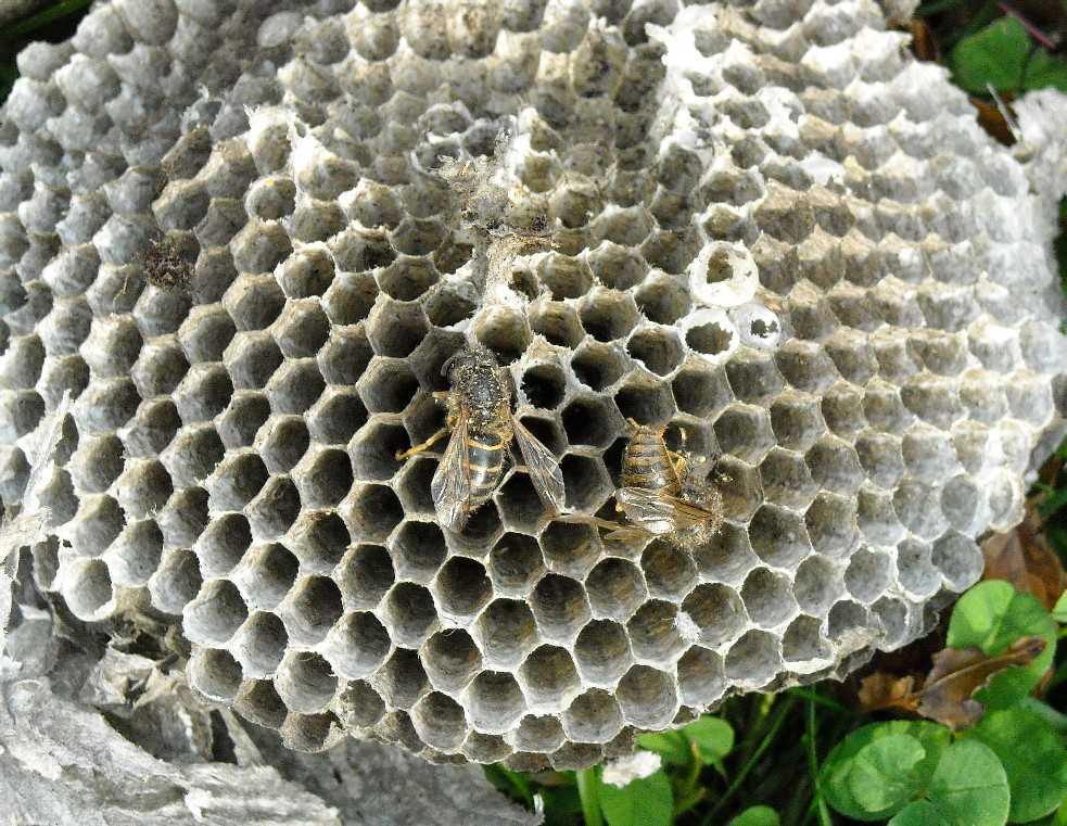 осиное гнездо (фото 7065)