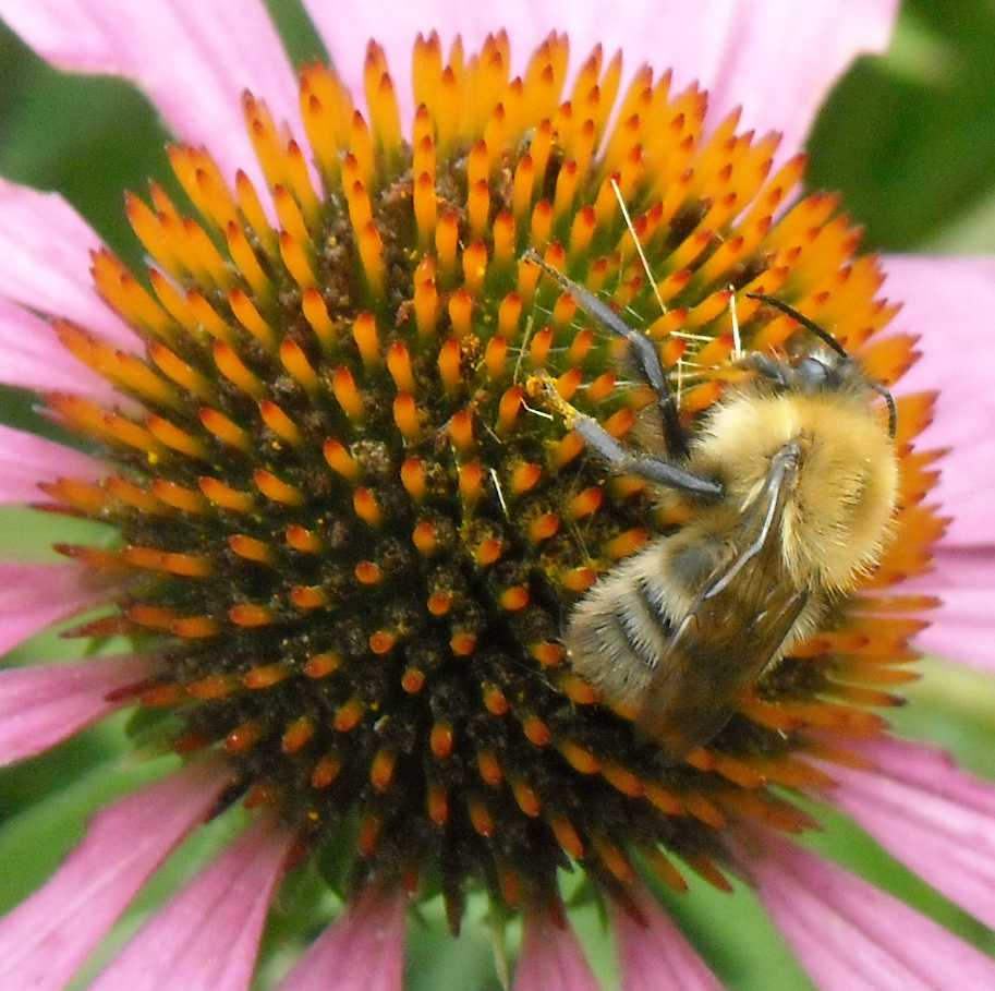 пчела (фото 8104)
