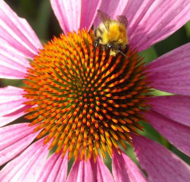 пчела (фото 8105)